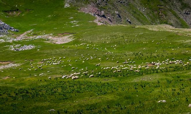 Sheeps on Visocica
