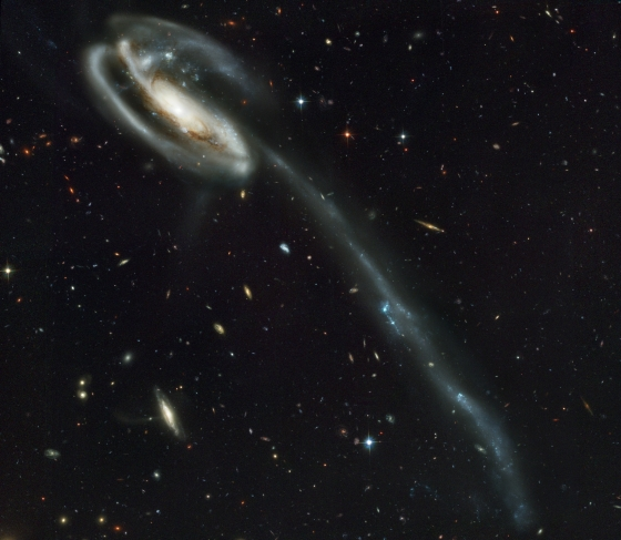 Against a stunning backdrop of thousands of galaxies, this odd-looking galaxy with the long streamer of stars appears to be racing through space, like a runaway pinwheel firework. This picture of the galaxy UGC 10214 was taken by the Advanced Camera for Surveys (ACS), which was installed aboard the NASA/ESA Hubble Space Telescope in March during Servicing Mission 3B. Dubbed the 'Tadpole', this spiral galaxy is unlike the textbook images of stately galaxies. Its distorted shape was caused by a small interloper, a very blue, compact, galaxy visible in the upper left corner of the more massive Tadpole. The Tadpole resides about 420 million light-years away in the constellation Draco. Seen shining through the Tadpole's disc, the tiny intruder is likely a hit and run galaxy that is now leaving the scene of the accident. Strong gravitational forces from the interaction created the long tail of stars and gas stretching out more than 280 000 light-years. Numerous young blue stars and star clusters, spawned by the galaxy collision, are seen in the spiral arms, as well as in the long 'tidal' tail of stars. Each of these clusters represents the formation of up to about a million stars. Their colour is blue because they contain very massive stars, which are 10 times hotter and 1 million times brighter than our Sun. Once formed, the star clusters become redder with age as the most massive and bluest stars exhaust their fuel and burn out. These clusters will eventually become old globular clusters similar to those found in essentially all halos of galaxies, including our own Milky Way. Two prominent clumps of young bright blue stars are visible in the tidal tale and separated by a gap. These clumps of stars will likely become dwarf galaxies that orbit in the Tadpole's halo. Behind the galactic carnage and torrent of star birth is another compelling picture: a 'wallpaper pattern' of about 3000 faint galaxies. These galaxies represent twice the number of those found in the legendar
